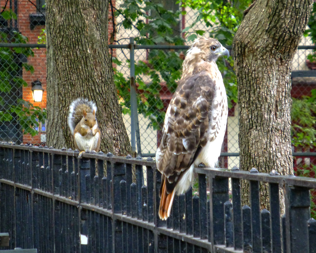 Adult red tail with squirrel