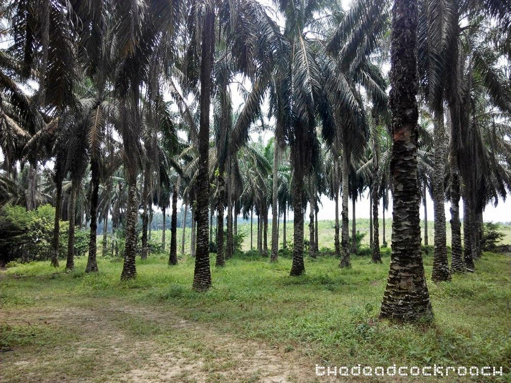 life liberation, santi forest monastery, sutera, ulu tiram, 宁心寺, 放生仪轨, travels,malaysia,johor bahru,palm oil,palm tree