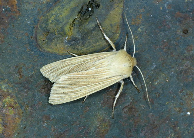 2199 Common Wainscot - Mythimna pallens