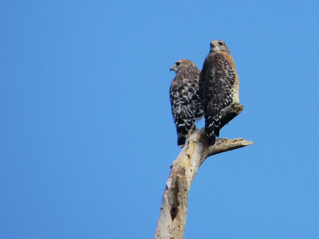 Red-shouldered Hawks | Buteo lineatus