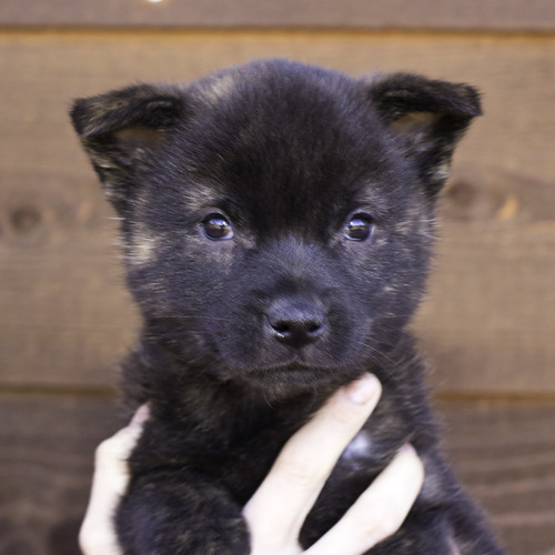 Nori-Litter2-47Days-Puppy5(male)a