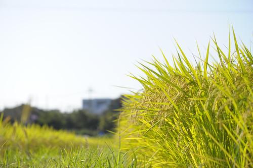 nikon rice 愛知 aichi paddyfield 田んぼ handa afsvrmicronikkor105mmf28gifed 半田 d3s 稲穂 earofrice yakachi yakachigawa 矢勝川