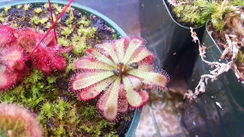 Drosera aliciae with black leaves.