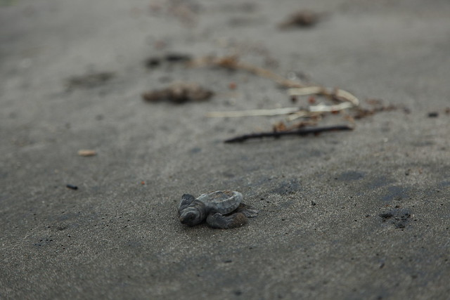 Hatchling turtle walking on the beach for the first time, Los Zorros, Jiquilillo Nicaragua