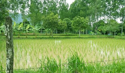 שדה אורז קטן. ירוק מלוא העין