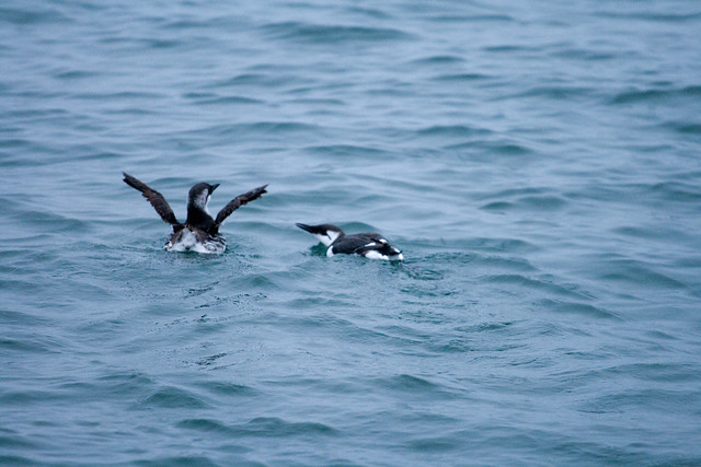 common murre father and child pair