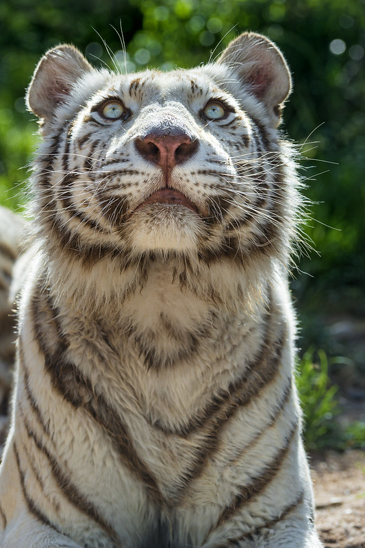 Tigress looking upwards