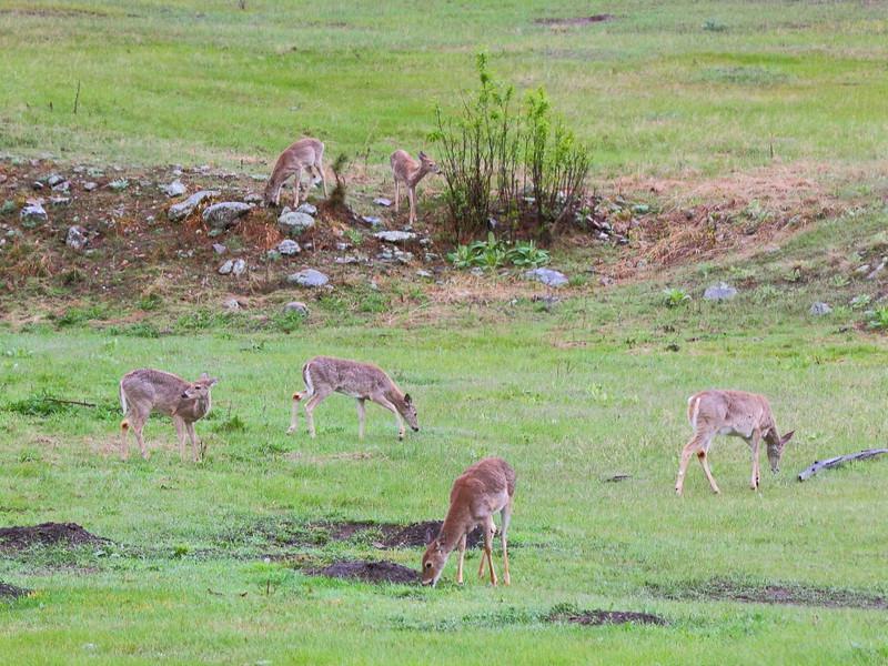 IMG_9974 White-Tailed Deer