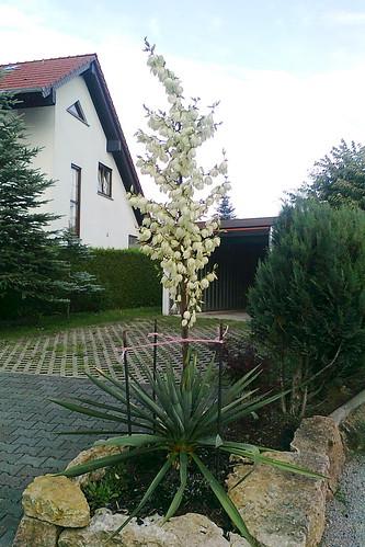 Yucca filamentosa-flaccida complex cv. 'Glockenriese'