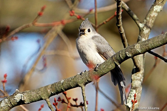 Tufted Titmouse in Maple Tree