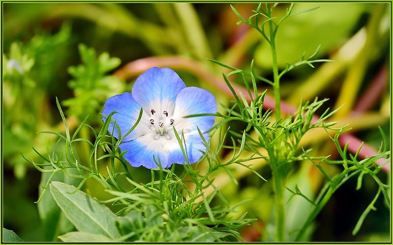 Blue Star Flowers love stories