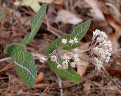 Sandhill Milkweed (Asclepias humistrata)