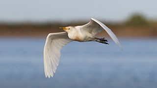 Garcita Bueyera - Bubulcus ibis - Cattle Egret