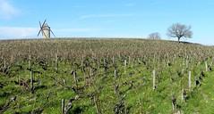 Vignes et moulin - Photo of Lesparre-Médoc
