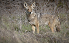 Curious Coyote (Henry Cowell Redwoods State Park) - Fotos by M-