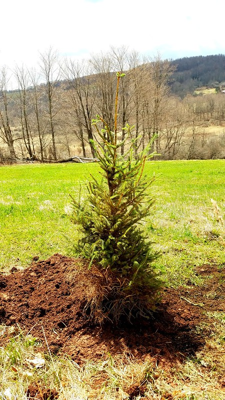 Planting our 2016 Christmas tree!