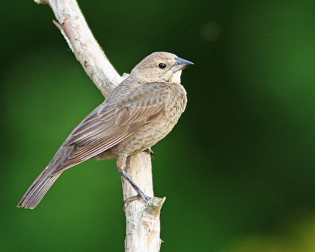 BrownHeraded Cowbird female_4500
