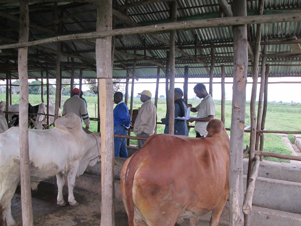 fattened oxen buyers visiting producer farms (Photo:ILRI Yoseph Mekasha)