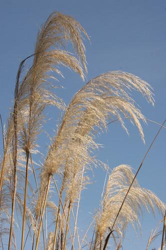 Cortaderia richardii plumes