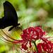 黒翅にて合掌 - Spangle & Red spider lily -