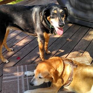 Tut & Sophie say Good Morning IG! #dogstagram #houndmix #rescued #adoptdontshop #ilovemydogs #coonhoundmix #nofilter #happydog #smile