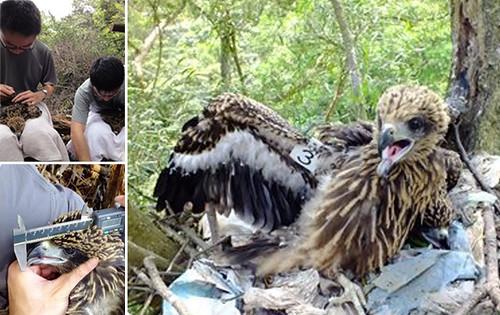 為了要幫助黑鳶,林惠珊想成為鳥類研究員,才能夠更靠近牠們。圖片來源:林惠珊、屏科大鳥類生態研究室