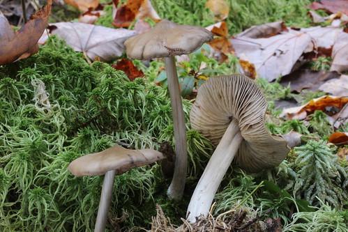 Entoloma strictius  var. isabellinum /  Entolome étroit variété isabelle
