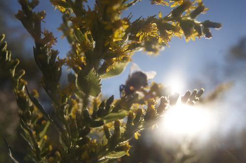 Bumblebee & Goldenrod 3