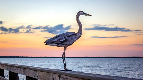 sunset bird heron nature water gulf greatblueheron shorebird dunedinfl