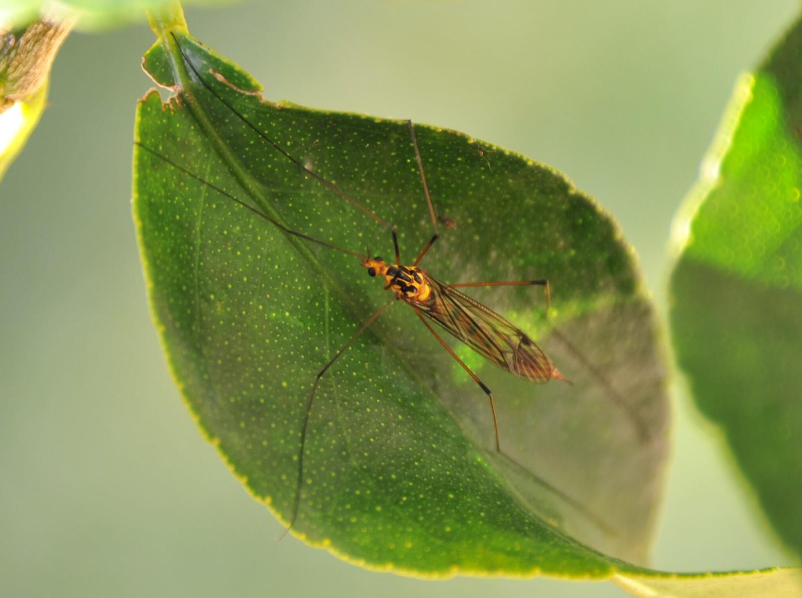Large crane fly nephrotoma australasiae PDB_1391 crop