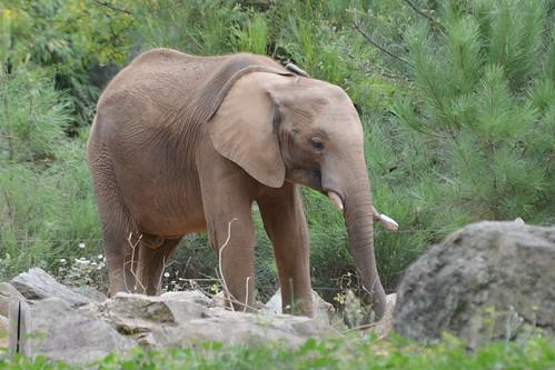 Afrikanischer Elefant Bou Bou im Zoo de La Flèche