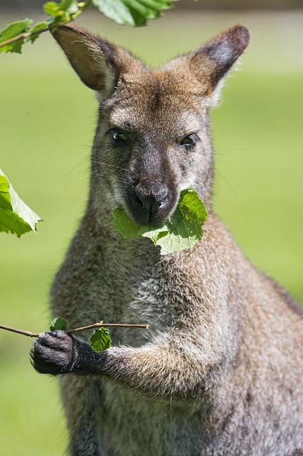 Male Kangaroo Eating Leaves The Toni Flickr Sharing
