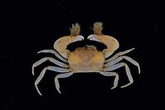 特異折顎蟹。(團片來源:墾管處研究團隊)