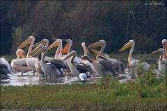 2012-11-24_Birds_Hula_194_web