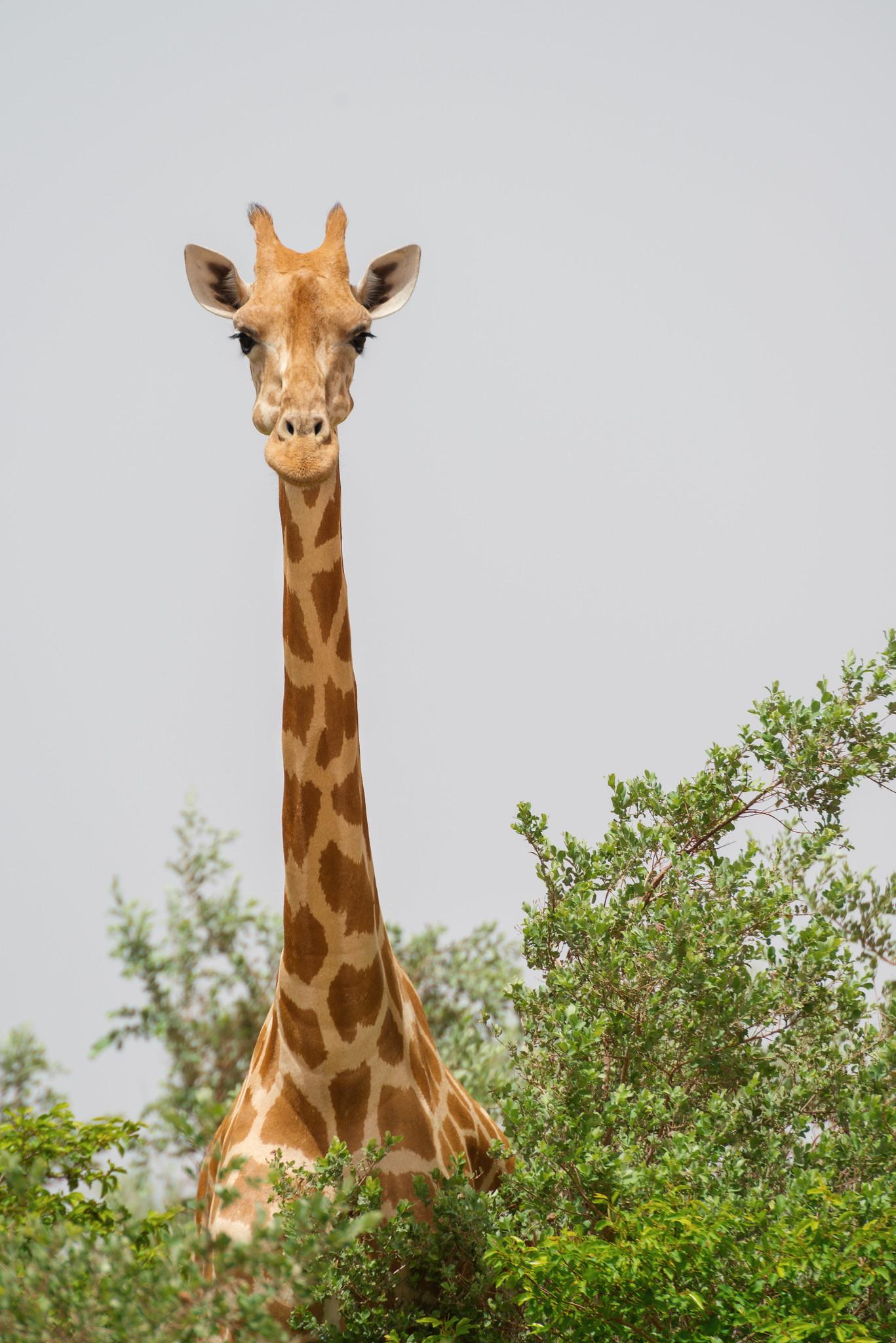 Long-necked Survivor