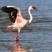 Maureen Sullivan. has added a photo to the pool:Lesser Flamingo ( Phoenicopterus minor)Ken Malloy Harbor Park, Harbor City, Los Angles County, California. Photographed on 9/30/14First reported by Ed Griffin on 9/28/2014 ©2014 Maureen SullivanFacebook  |  Blog (of sorts)  | Argiope Phtography| Instagram_____________________________________________________________________Member of the  Flickr Bird Brigade  Activists for birds and wildlife