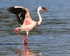 Lesser Flamingo (Phoenicopterus minor) Los Angeles County, California, 9/30/14