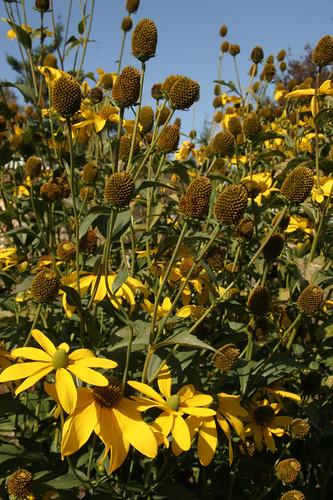 Rudbeckia 'herbstsonne'