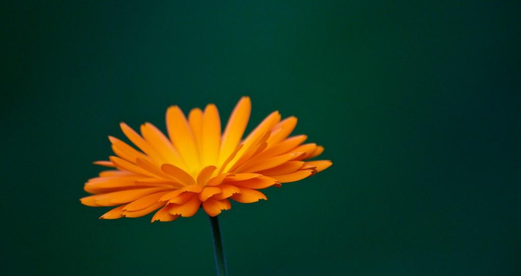 Marigold / Ringblomst