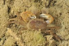 湧泉海岸林潔淨水源與底質,創造特異折顎蟹獨特棲地。(團片來源:墾管處研究團隊)