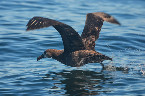 <p><i>Phoebastria nigripes</i>, Diomedeidae<br /> Pelagic Zone, off Tofino, British Columbia, Canada<br /> Nikon D5100, 70-300 mm f/4.5-5.6<br /> September 20, 2014</p>