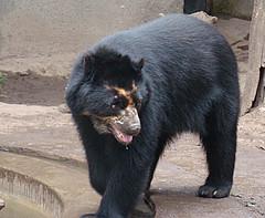 animal, american black bear, mammal, sloth bear, bear,