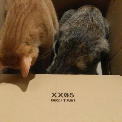 トロワとカトル、仲良く2匹でAmazonのダンボール箱チェック by Chinobu