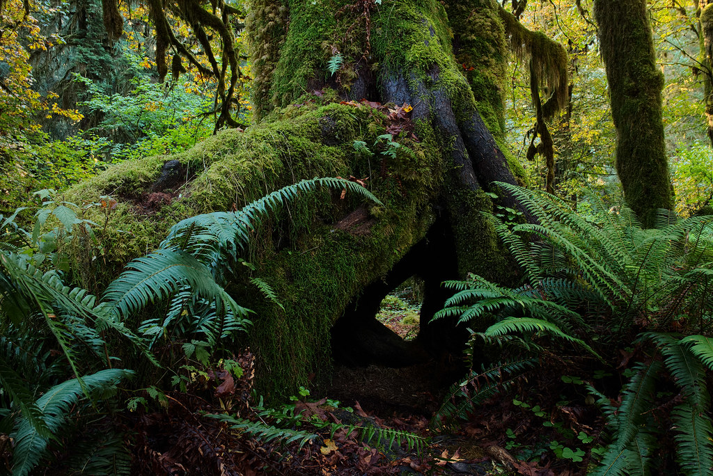 An empty space below the roots of a tree is all that remains of a nurse log