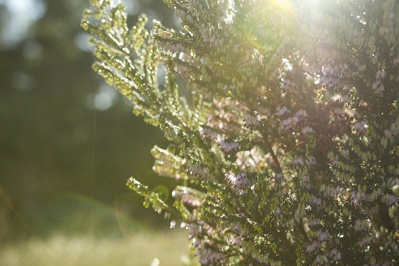 © Amie Whiting_2014_Winter Morning Heather Garden_04 (1)