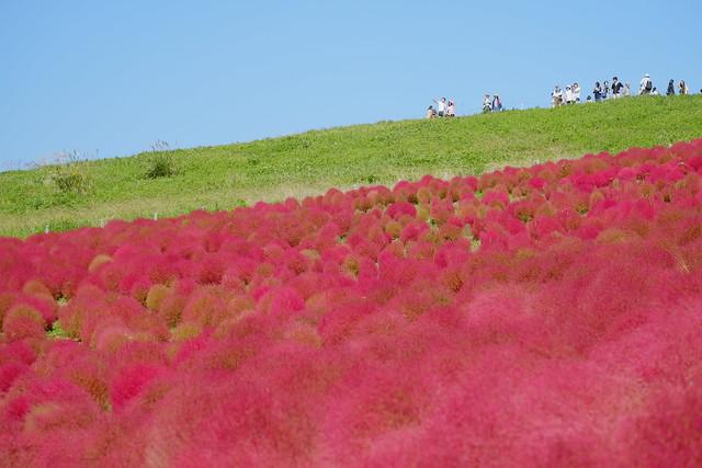 red Kochia bushes