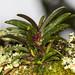 Epidendrum rhodovandoides