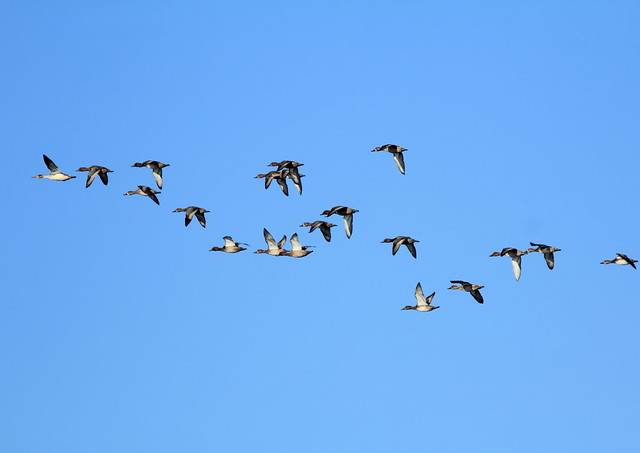 Ducks in flight2 20141012
