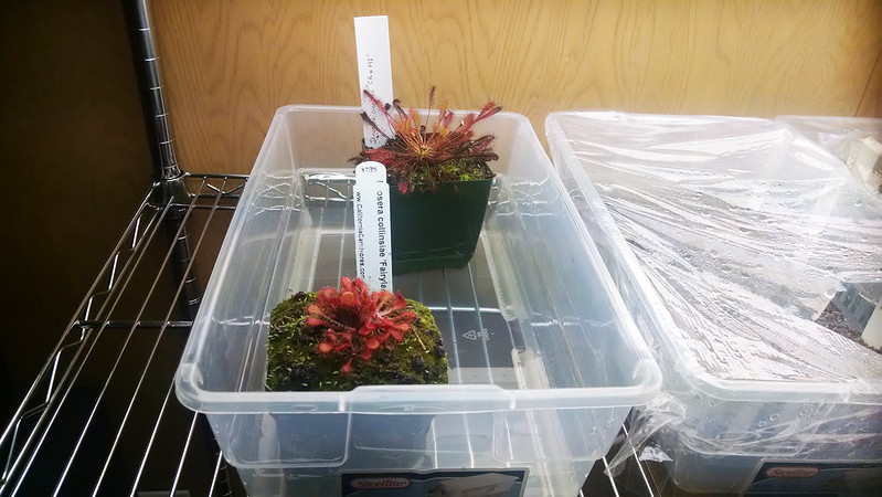 Drosera anglica CA x HI and Drosera collinsiae Faryland in quarantine.