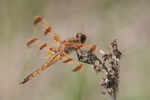 paintedskimmer libellulasemifasciata libellulidae skimmers libellula semifasciata dragonfly odonata skimmer fen cedarbognaturepreserve champaigncounty ohio usa mangoverde